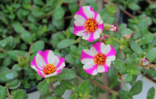 Portulaca, Colorblast 'Pink Lady'