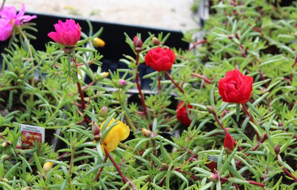 Portulaca, Happy Trails 'Mix'
