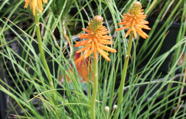 Red Hot Poker 'Fire Glow'