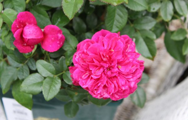 Rose 'Darcey Bussell'™