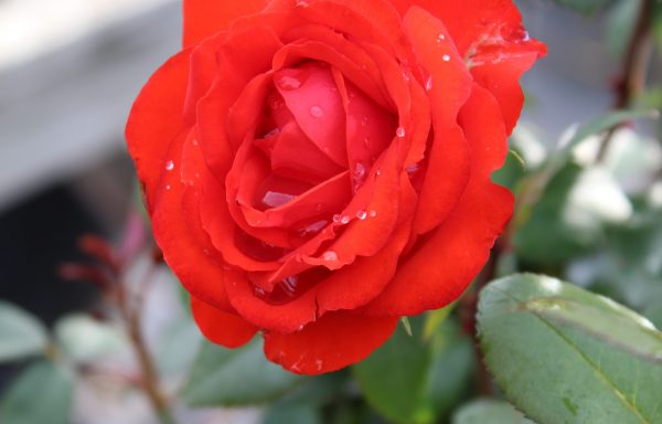 Rose, True Bloom™'True Passion'