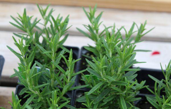 Rosemary 'Spice Islands'