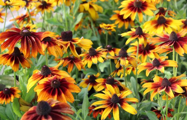 Black Eyed Susan 'Autumn Colors'