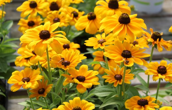 Black Eyed Susan 'Toto Gold'