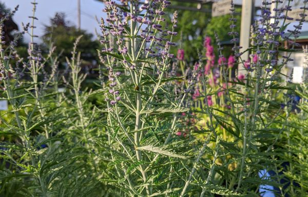 Russian Sage 'Denim N' Lace'