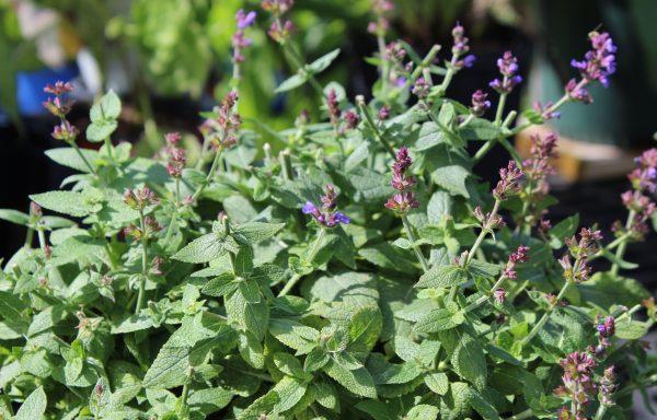 Salvia 'Bumbleblue'