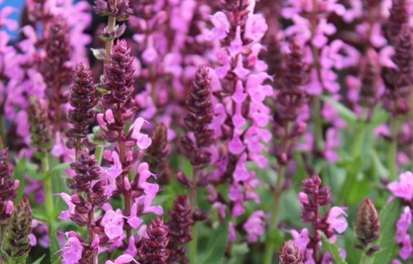 Salvia 'Pink Profusion'