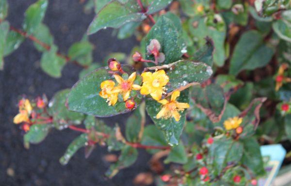 St. John's Wort, FloralBerry 'Sangria'