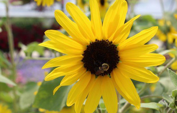 Sunflower 'Sunfinity'