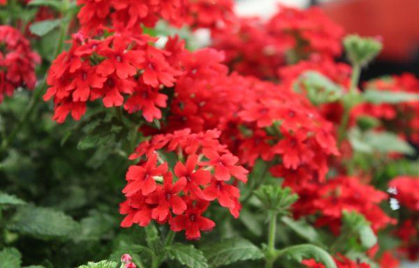 Verbena, Firehouse 'Red'