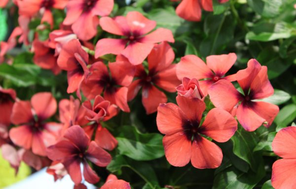 Vinca, Tattoo 'Papaya'