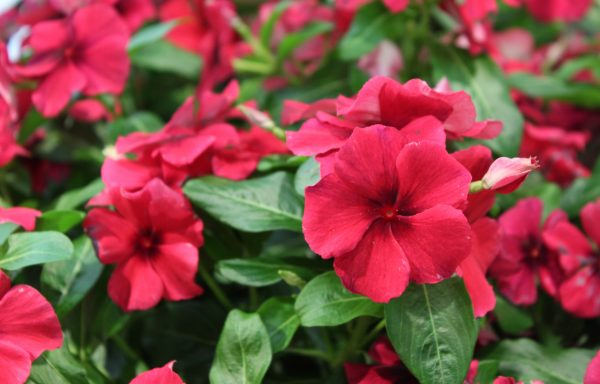 Vinca, Tattoo 'Black Cherry'
