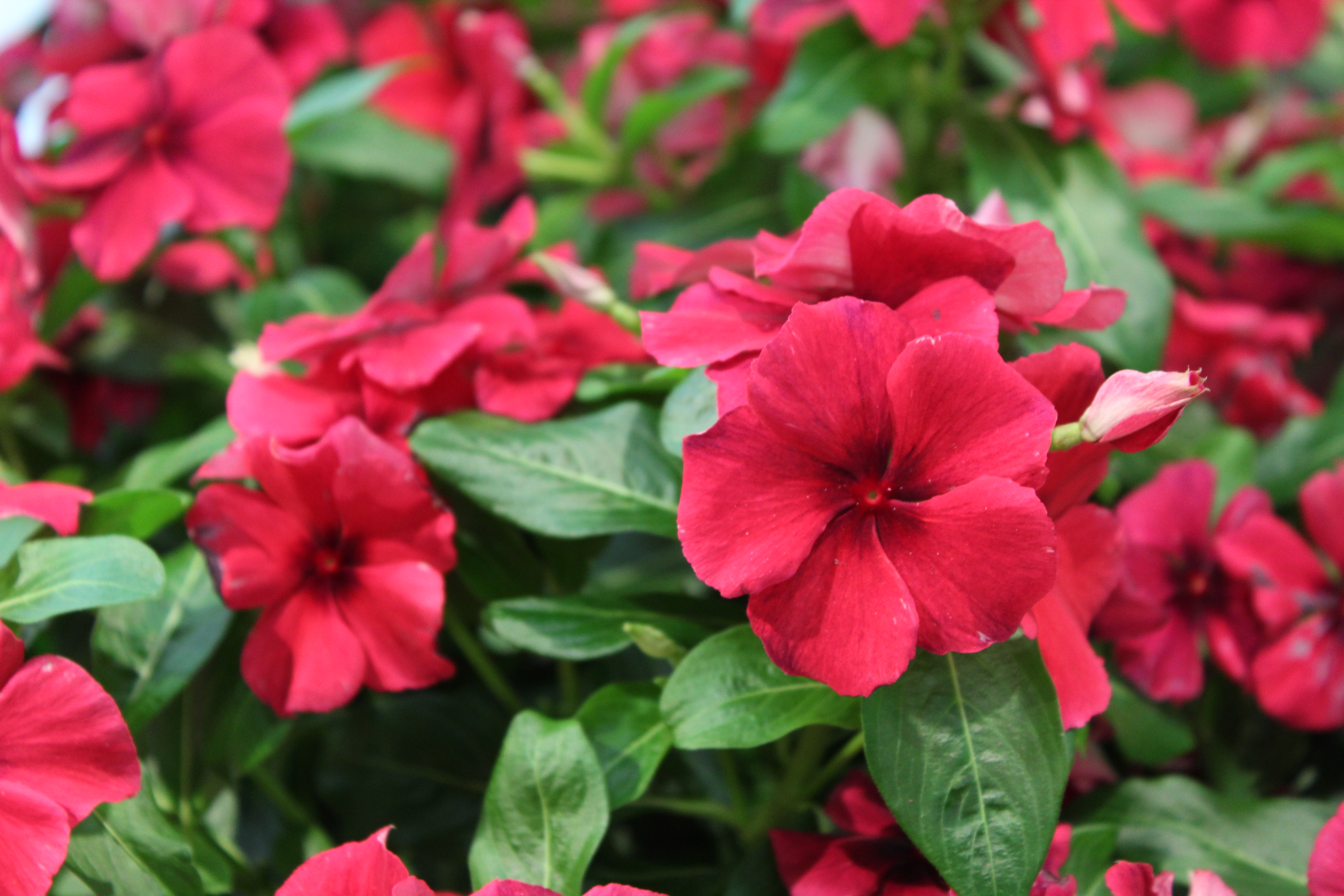 3f32b540d Vinca, Tattoo 'Black Cherry' – (New For 2019) – Wilson's Garden Center