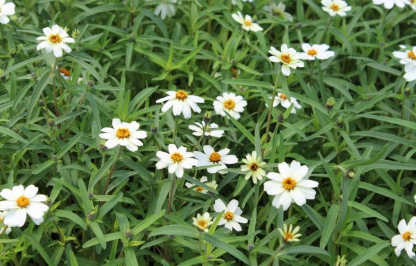 Zinnia, Star 'White'