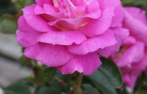 Rose 'Arctic Blue'™