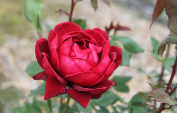 Rose 'Don Juan'