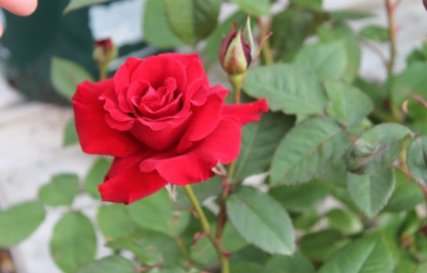 Rose 'Lady In Red'