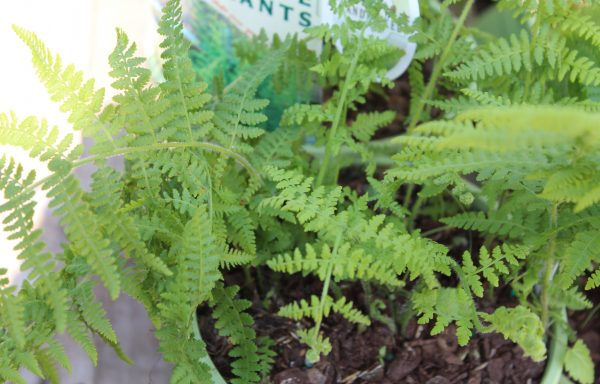 Fern 'Hay Scented'