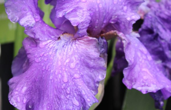 Iris, Bearded 'His Royal Highness'