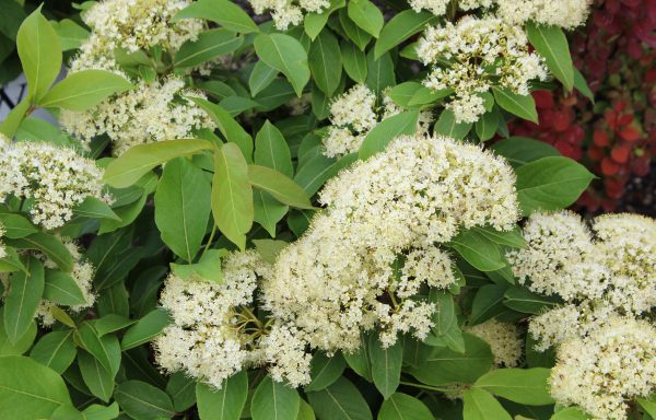 Viburnum, Witherod 'Lil' Ditty'