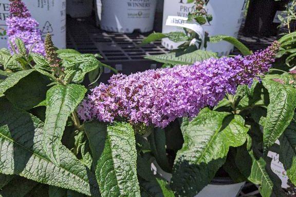 Butterfly Bush, Pugster 'Amethyst'®