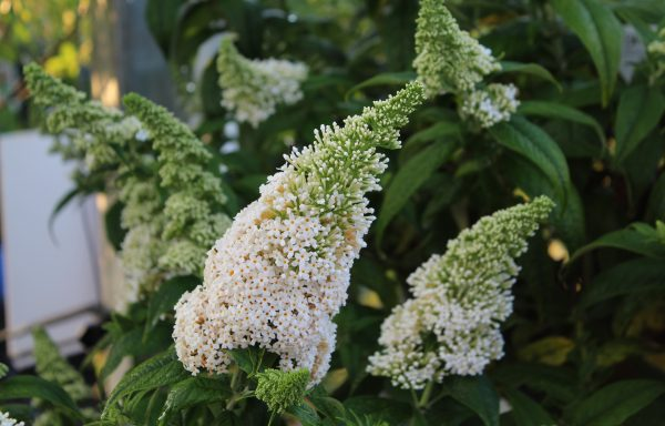 Butterfly Bush, Pugster 'White'®
