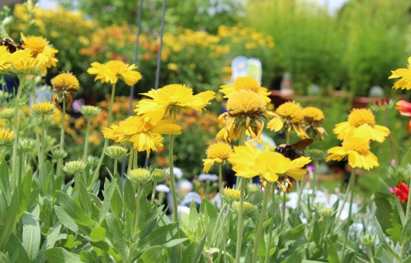 Blanket Flower, Mesa™ 'Yellow'