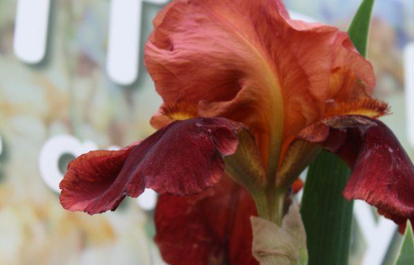 Iris, Bearded 'Natchez Trace'