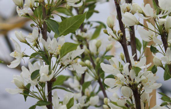Crabapple 'Spring Snow'
