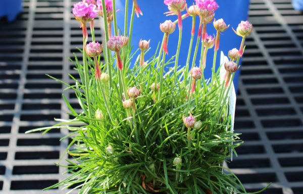 Sea Thrift, Ministicks 'Rose'