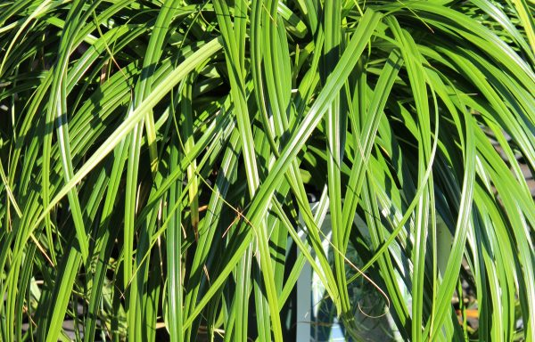 Grass, Sedge Sensation™ 'Ribbon Falls'