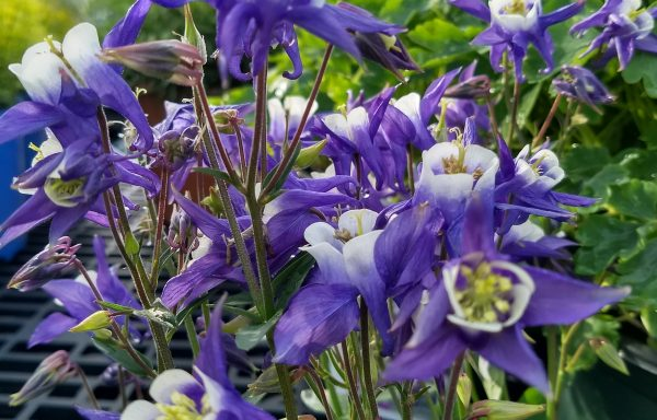 Columbine, Winky 'Blue & White'