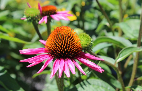 Coneflower 'Pica Bella'