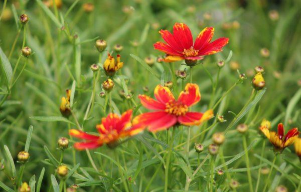 Tickseed 'Ladybird'