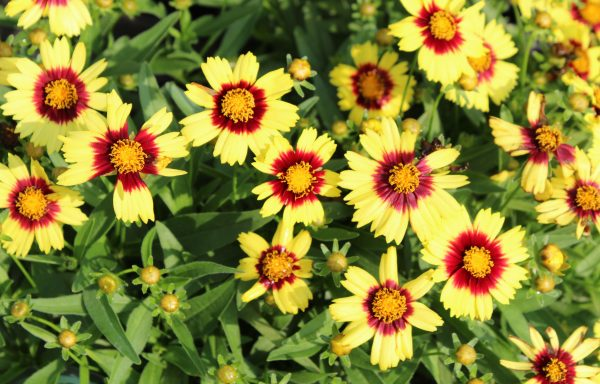 Tickseed, UpTick™ 'Yellow & Red'