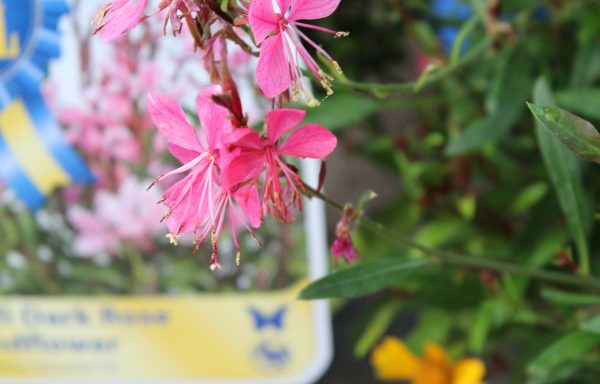 Gaura, Steffi 'Dark Rose'