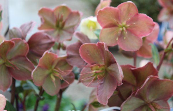 Lenten Rose 'Mahogany Snow'