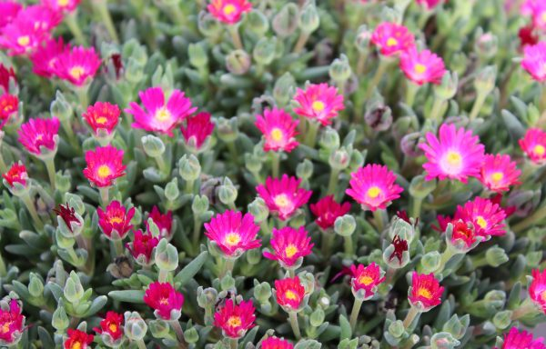Ice Plant, Jewel Of Desert 'Amethyst'
