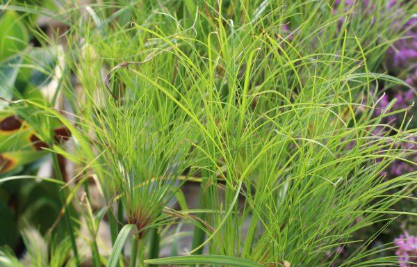 Grass, Cyperus 'Prince Tut'