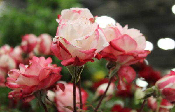 Rose, Grace N' Grit 'Pink Bicolor'