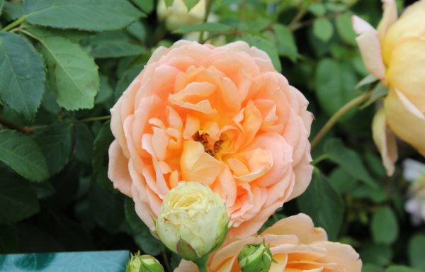 Rose 'Lady Of Shalott'™