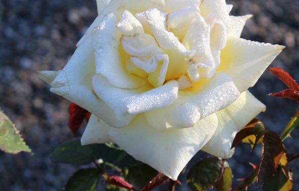 Rose 'Oregold'