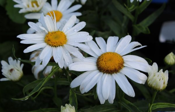 Shasta Daisy 'Lucille White'