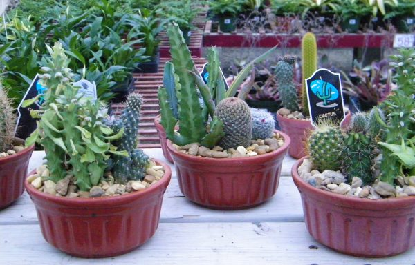 Cactus 'Assorted'