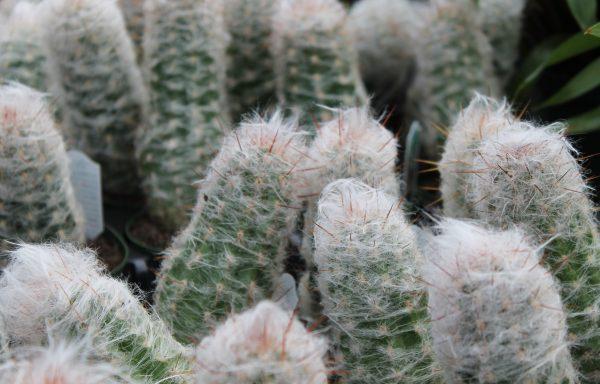 Cactus 'Old Man'
