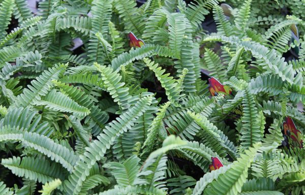 Fern 'Jester's Crown'