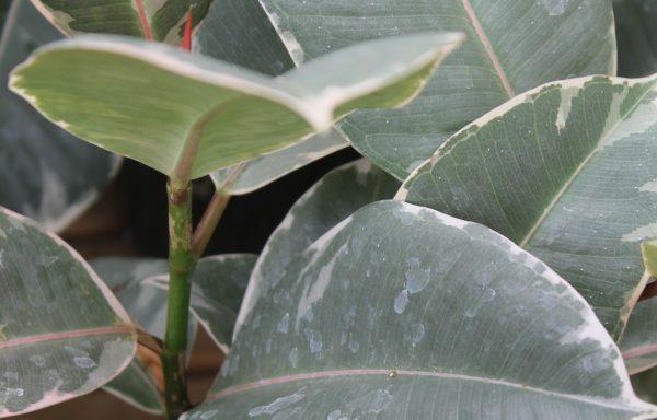 Ficus, Rubber 'Tineke'
