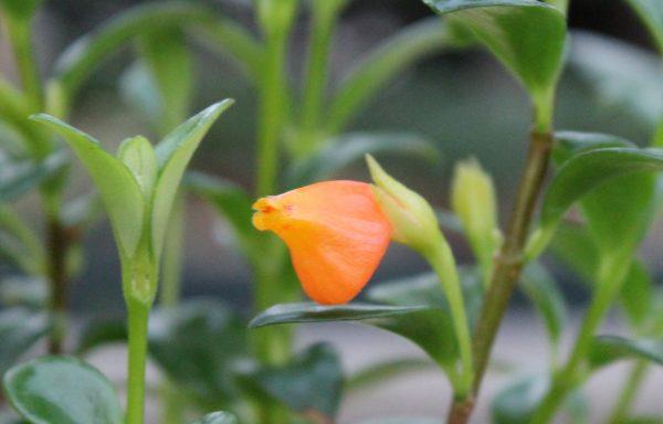 Goldfish Plant