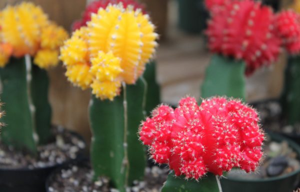 Cactus 'Grafted'