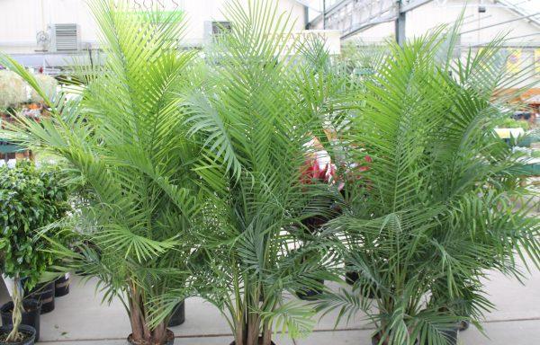 Palm 'Majesty'